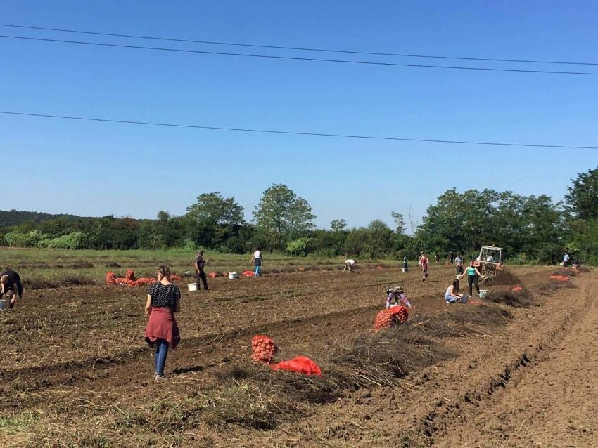 Medžlis IZ Prijedor: 20 tona krompira podijeljeno socijalno ugroženim